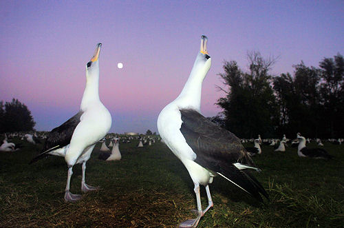 Midway Atoll Birds & Wildlife